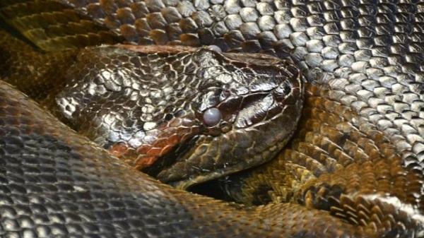 Loài rắn lớn nhất thế giới