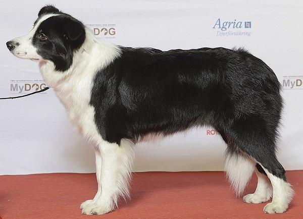 Border Collie - Giống chó khôn nhất thế giới