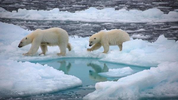 Băng tan làm mất môi trường sống của gấu Bắc Cực