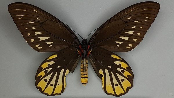 Mặt dưới con cái của loài bướm to nhất thế giới