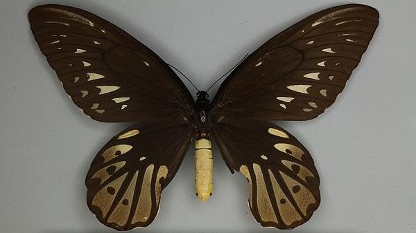 Mặt lưng con cái của loài bướm to nhất thế giới