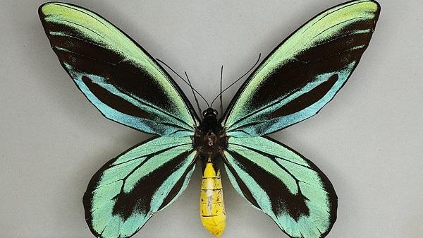 Mặt lưng con bướm đực