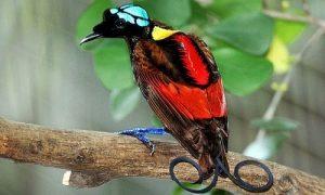 Chim thiên đường Wilson - loài chim đẹp nhất thế giới