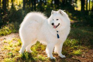 10 loại chó đắt nhất thế giới