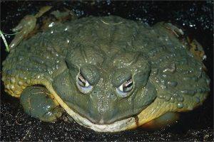 loài ếch to nhất thế giới