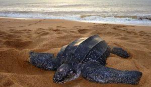 loài rùa to nhất thế giới