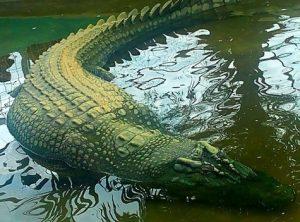 cá sấu lớn nhất thế giới từng bị bắt